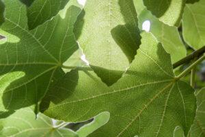 Liście figowca