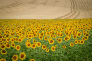 Fields of sunflowers are a common view in Moravia