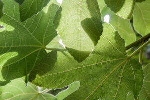 Leaves of fig-tree in the courtyard of the restaurant in Znojmo