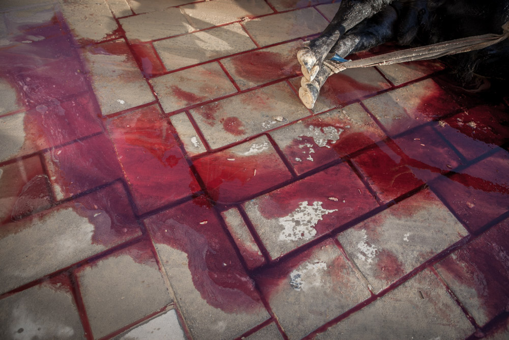 Blood of a bull killed in a bullfight